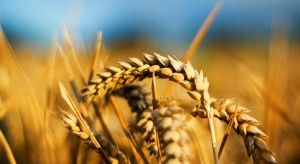 Close-up-Wheat